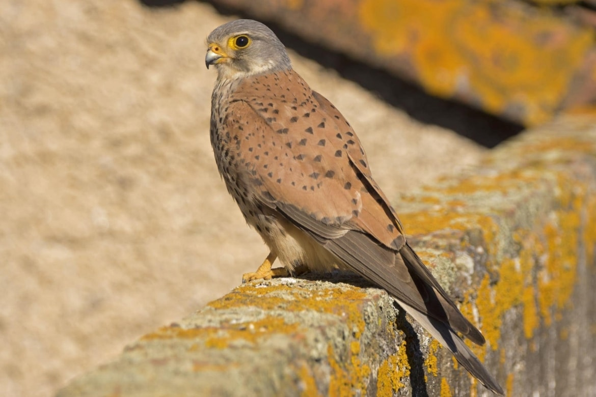 One Of The Rooftop Common Kestrels   Photographed At The Location Used For The NaturesLens Bonellis, Golden & Imperial Eagles Of Spain Photography Holiday