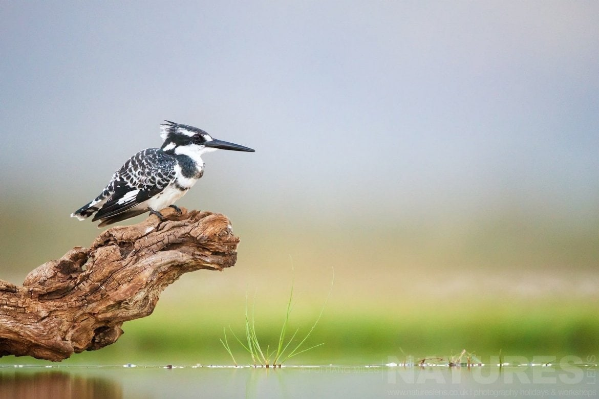 Pied Kingfisher Waiting For Fish Captured During The Natureslens African Wildlife Zimanga Photography Holiday