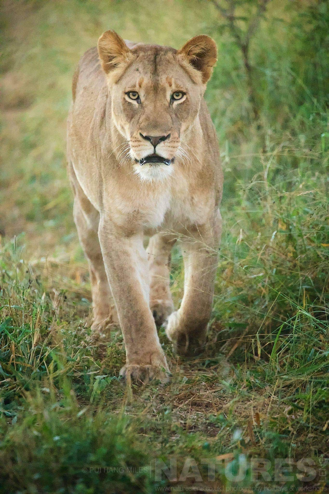 Portrait Of A Lioness   Captured During The Natureslens African Wildlife Zimanga Photography Holiday