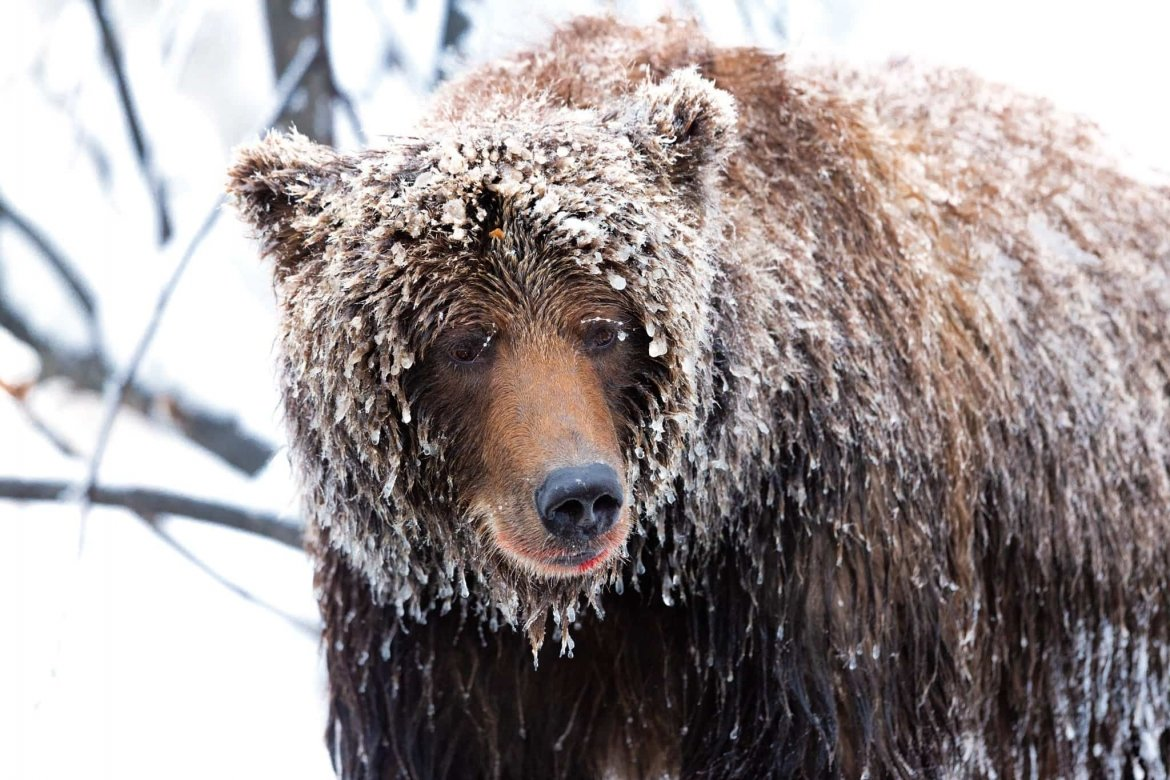 Portrait Of An Ice Grizzly   Captured During The Natureslens Ice Grizzlies Of The Yukon Photography Holiday