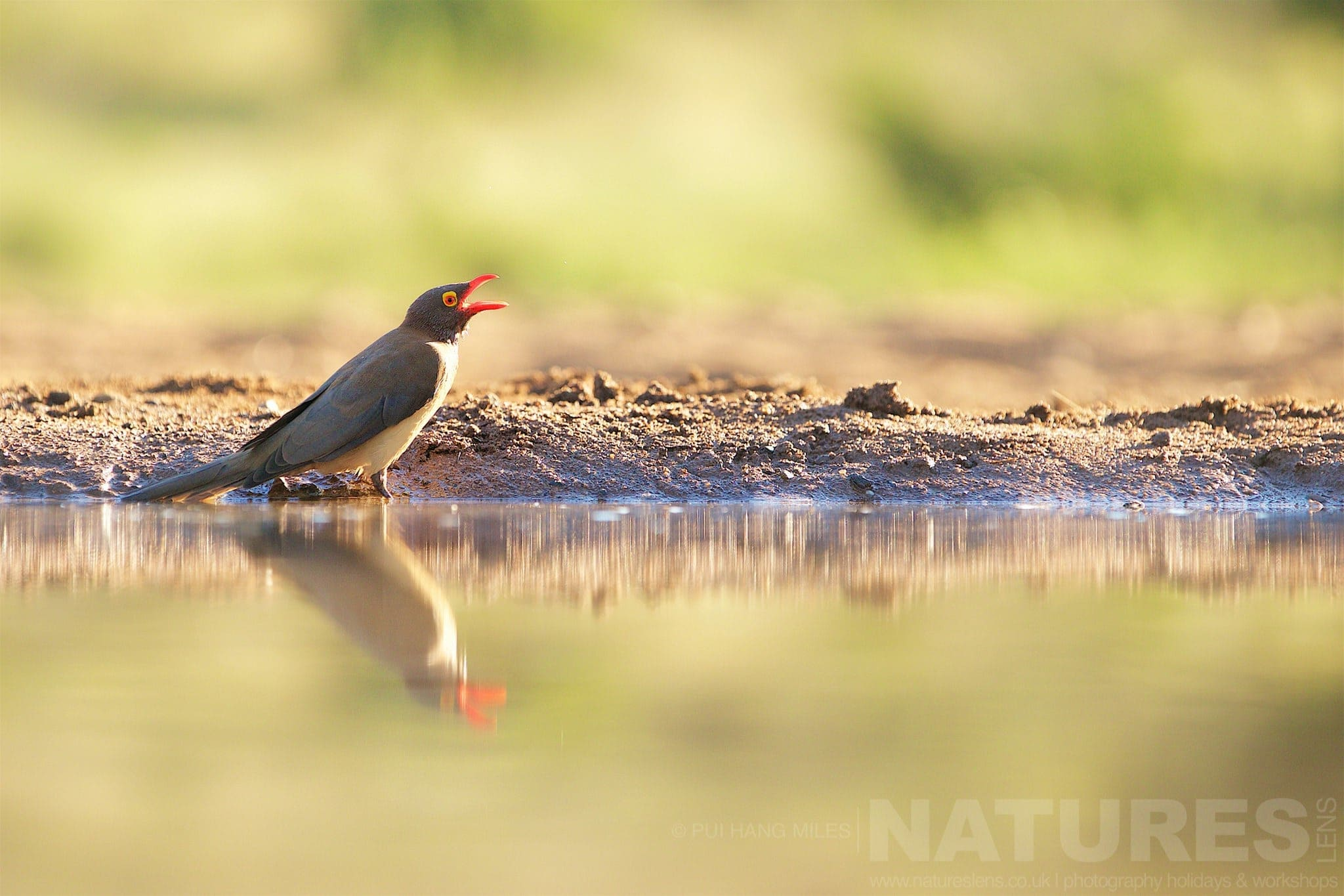 Red Beaked Oxpecker   Captured During The Natureslens African Wildlife Zimanga Photography Holiday