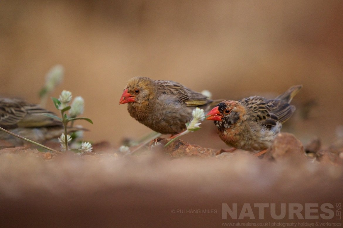 Red Billed Queleas Captured During The Natureslens African Wildlife Zimanga Photography Holiday