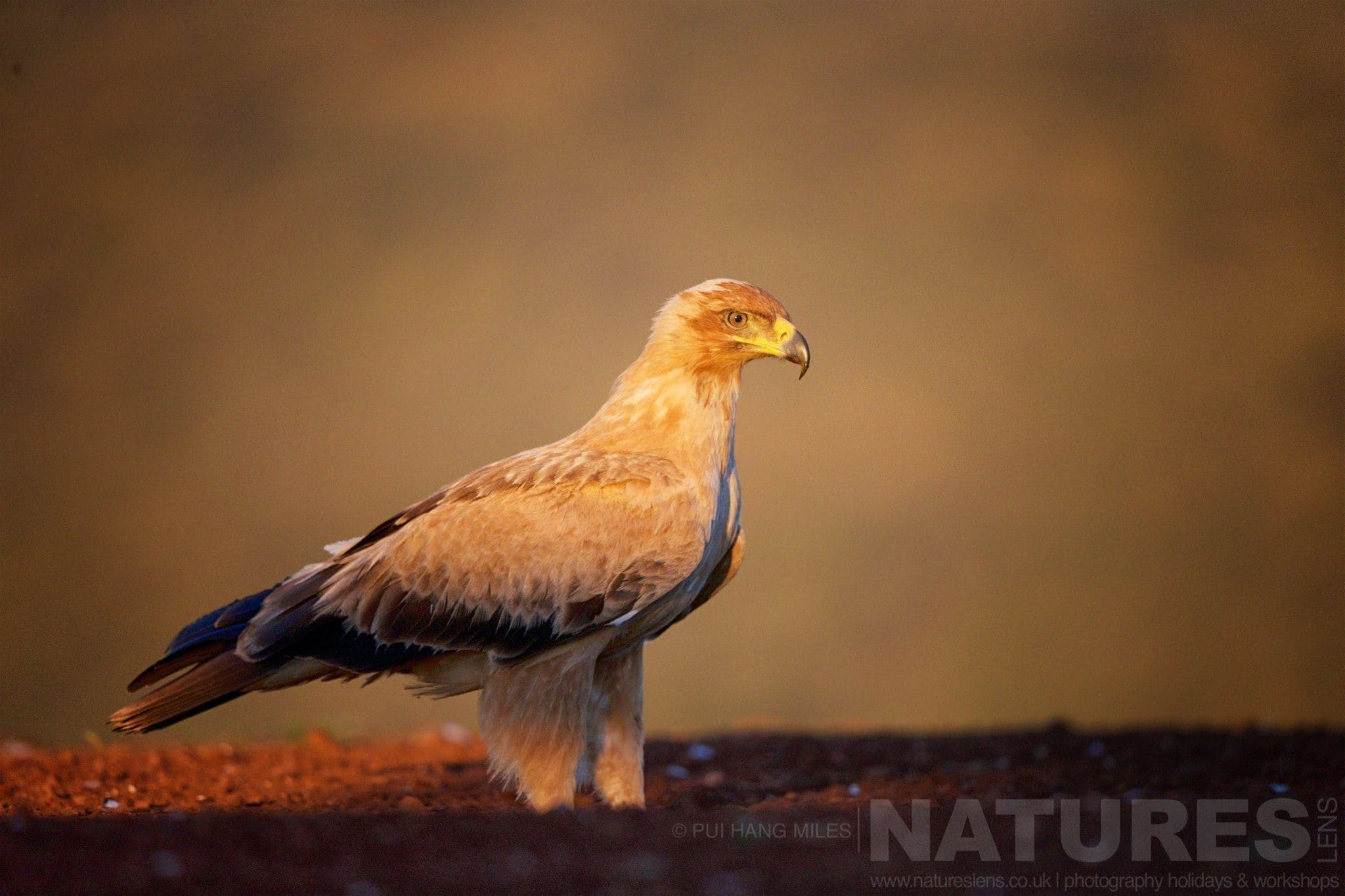 Tawny Eagle At Sunrise   Captured During The Natureslens African Wildlife Zimanga Photography Holiday