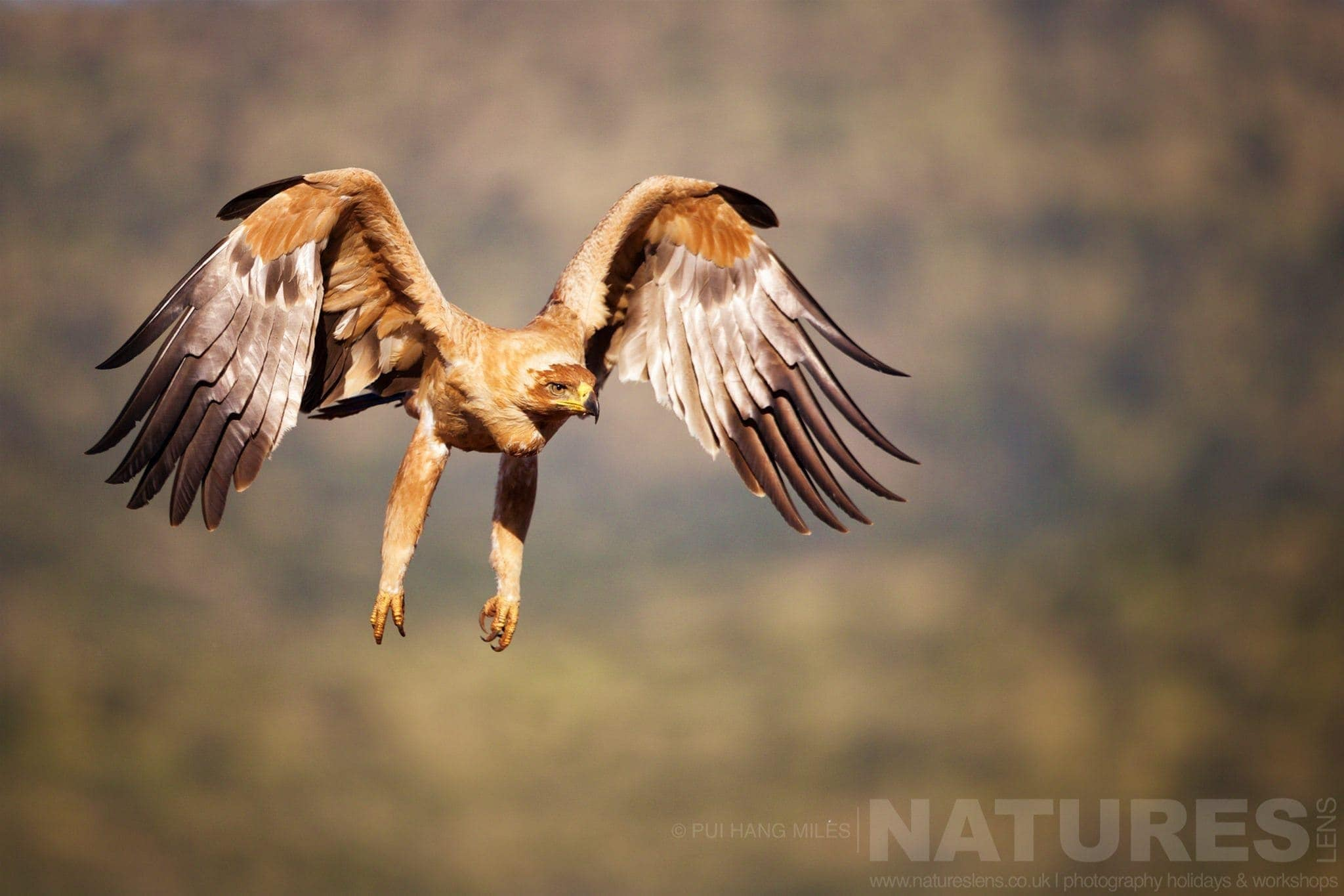Tawny Eagle In Flight   Captured During The Natureslens African Wildlife Zimanga Photography Holiday