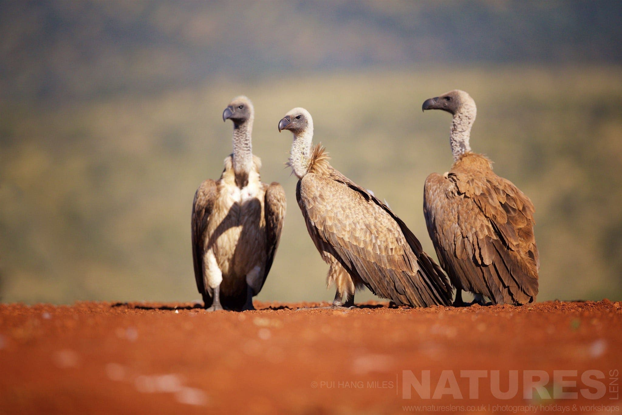 Vulture Committee   Captured During The Natureslens African Wildlife Zimanga Photography Holiday