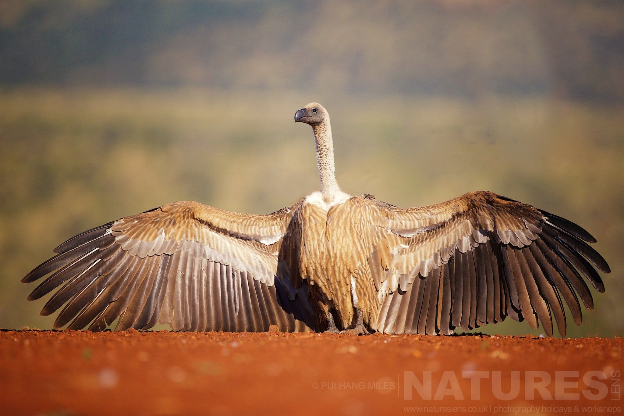 Vulture With Outstretched Wings   Captured During The Natureslens African Wildlife Zimanga Photography Holiday