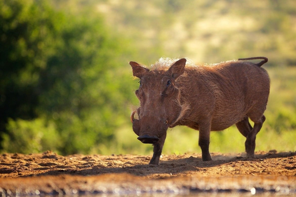 Warthog Approaching A Water Hole   Captured During The Natureslens African Wildlife Zimanga Photography Holiday