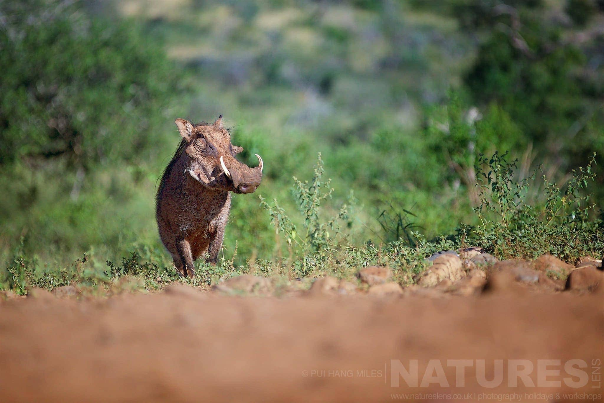 Warthog Sat By The Side Of The Road   Captured During The Natureslens South African Wildlife Zimanga Photography Holiday