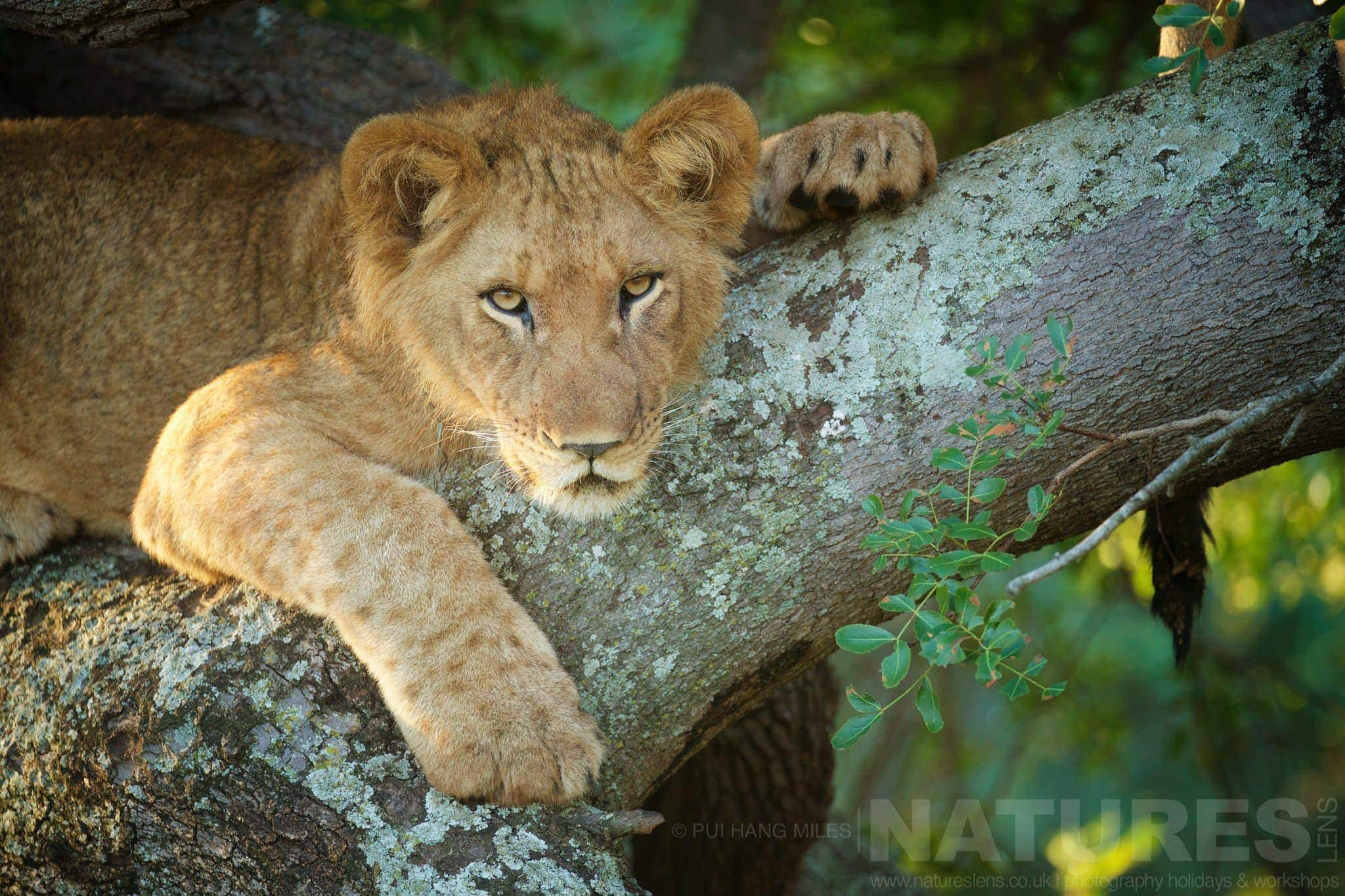 Watchful Lion Cub Resting In A Tree   Captured During The Natureslens African Wildlife Zimanga Photography Holiday