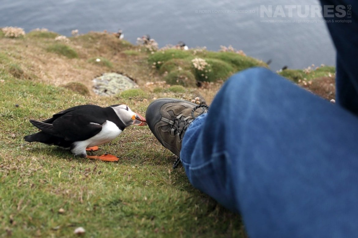 A Close Encounter, A Curious Puffin   Photographed During The NaturesLens Shetland's Puffins Of Fair Isle Photography Holiday