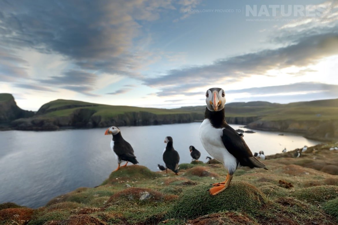 A Group Of Puffins On One Of The Headlands   Photographed During The NaturesLens Shetland's Puffins Photography Holiday