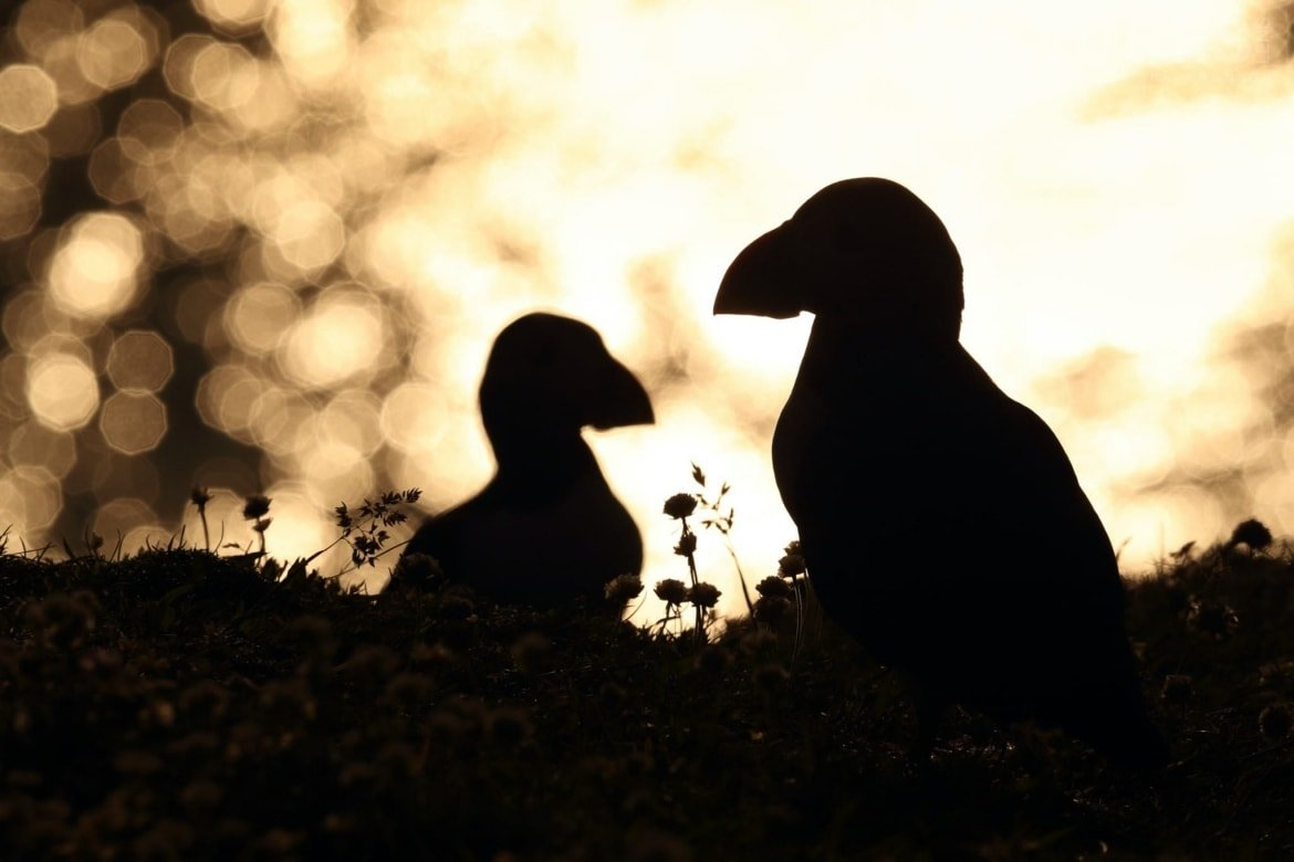 A Pair Of Puffins Against The Golden Light Of The Setting Sun   Photographed During The NaturesLens Shetland's Puffins