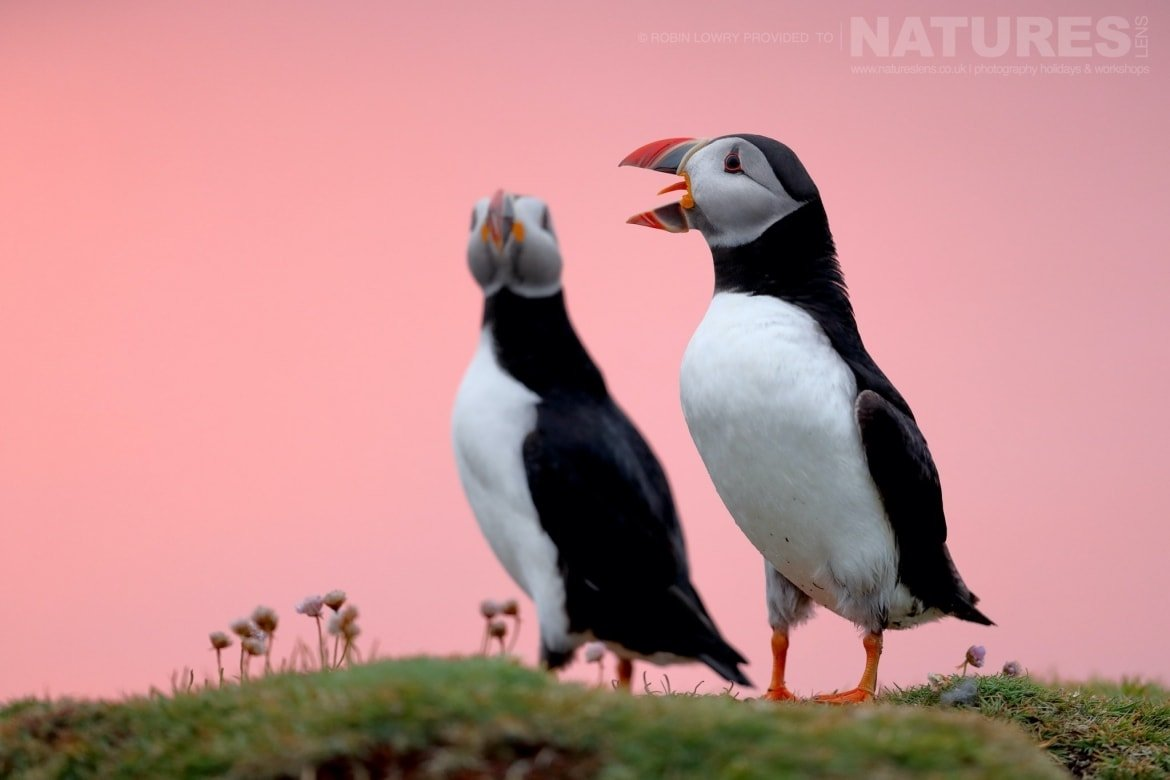 A Pair Of Puffins Against The Pink Sky Of The Setting Sun   Photographed During The NaturesLens Shetland's Puffins Photography Holiday