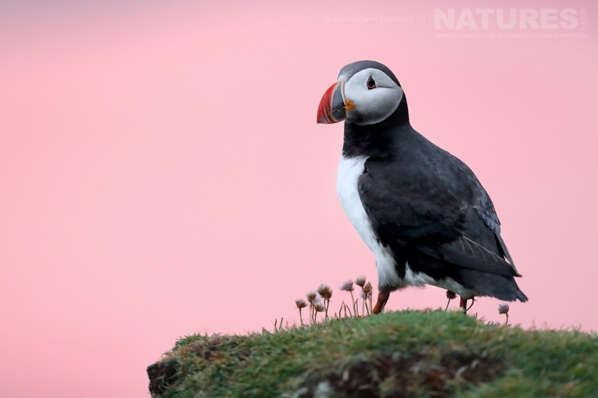 A Puffin Against The Pink Sky Of The Setting Sun   Photographed During The NaturesLens Shetland's Puffins Of Fair Isle Photography Holiday