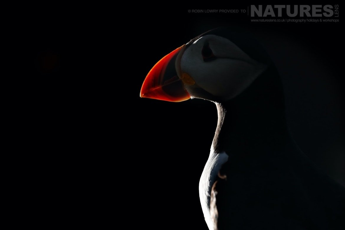 A Puffin Backlit By The Setting Sun   Photographed During The NaturesLens Shetland's Puffins Of Fair Isle Photography Holiday