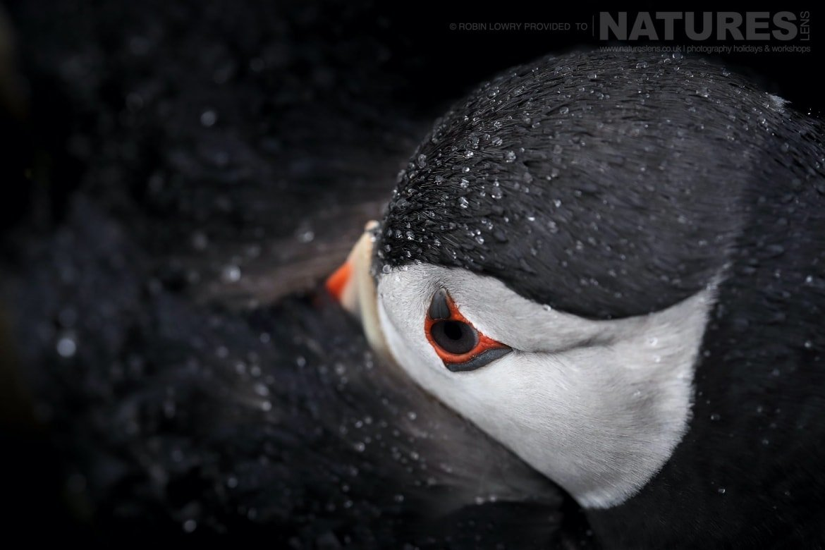 A Puffin Huddles Against The Rain   Photographed During The NaturesLens Shetland's Puffins Of Fair Isle Photography Holiday