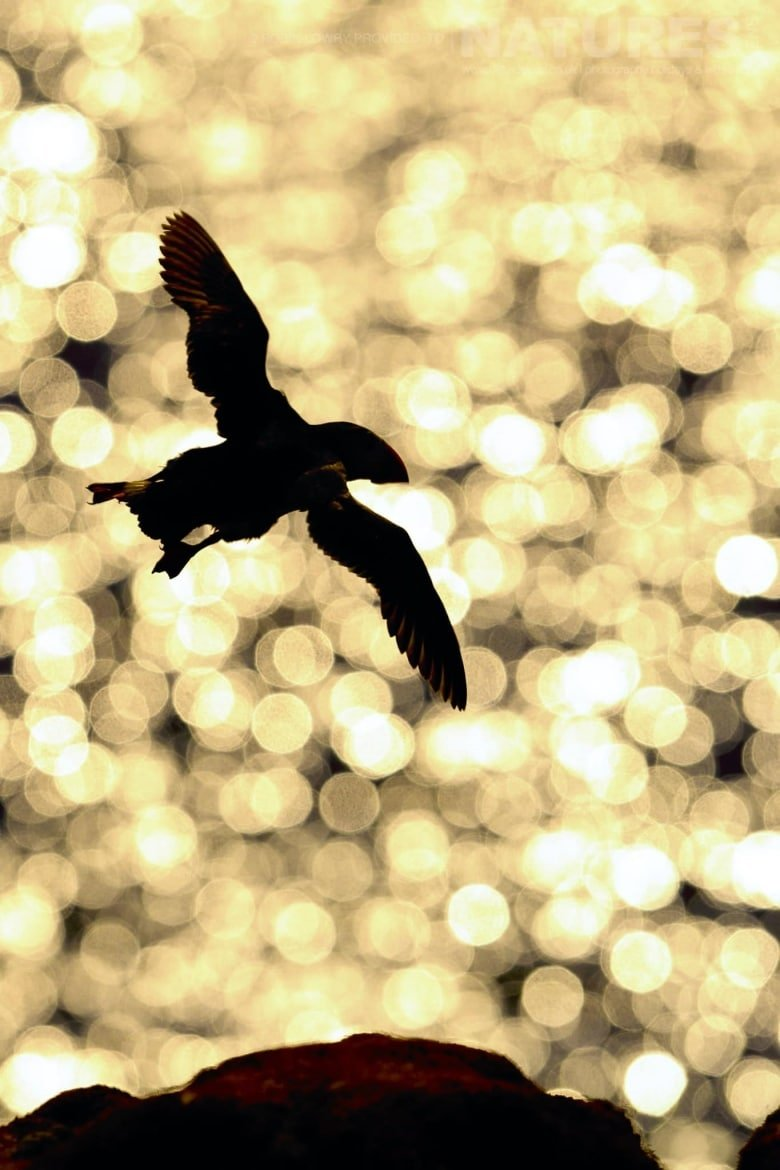 A Puffin In Flight Against The Golden Light Of The Setting Sun   Photographed During The NaturesLens Shetland's Puffins Of Fair Isle Photography Holiday