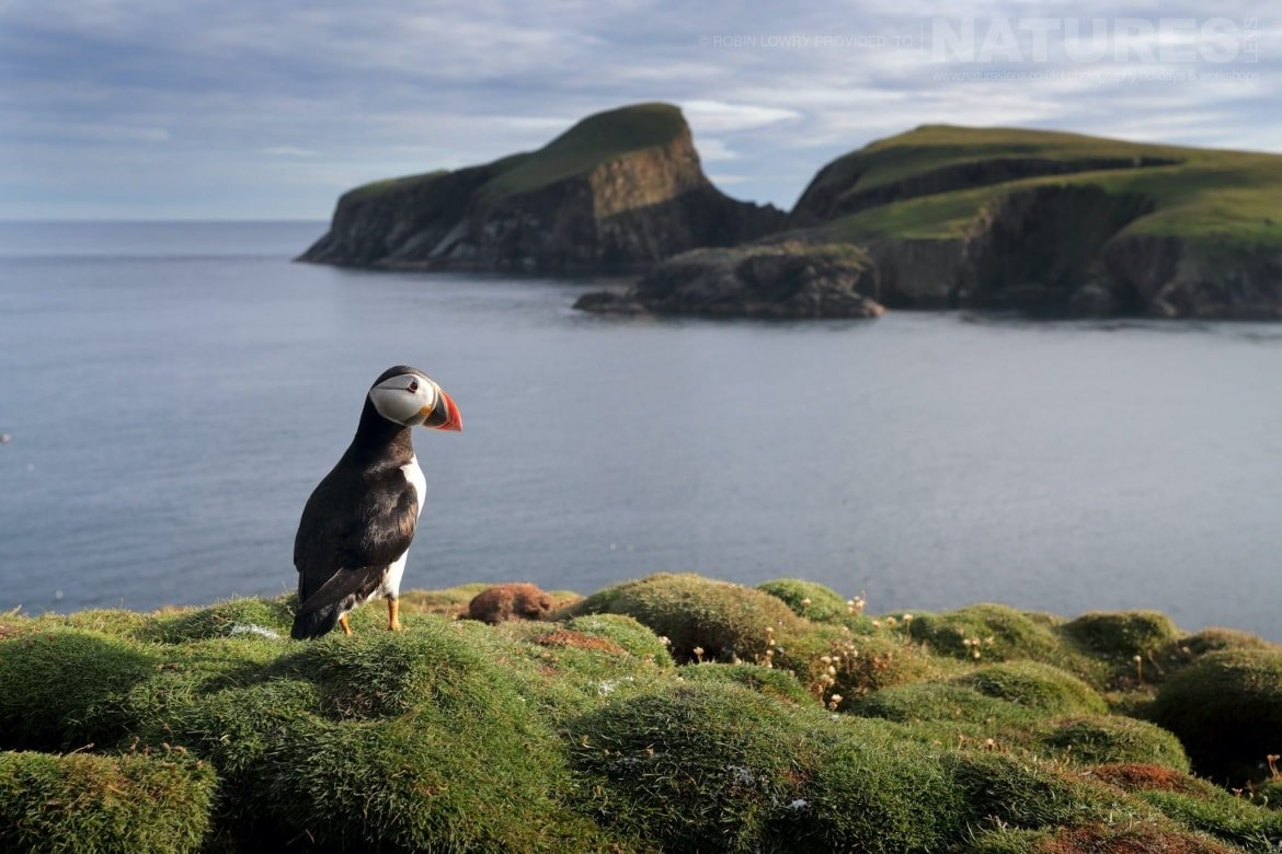A Solitary Puffin On One Of The Headlands   Photographed During The NaturesLens Shetland's Puffins Of Fair Isle Photography Holiday