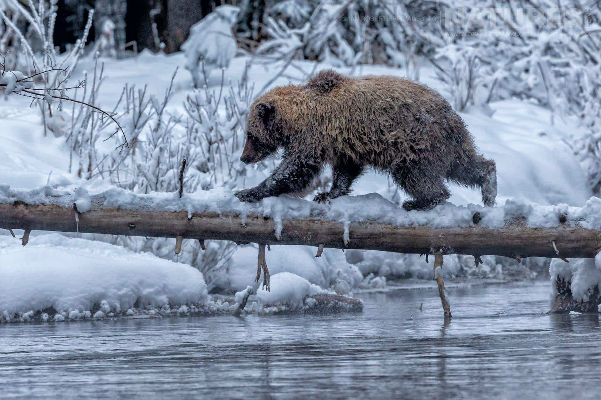 A Young Male Grizzly Bear Walks Across A Log - Captured During The Natureslens Ice Grizzlies Of The Yukon Photography Holiday