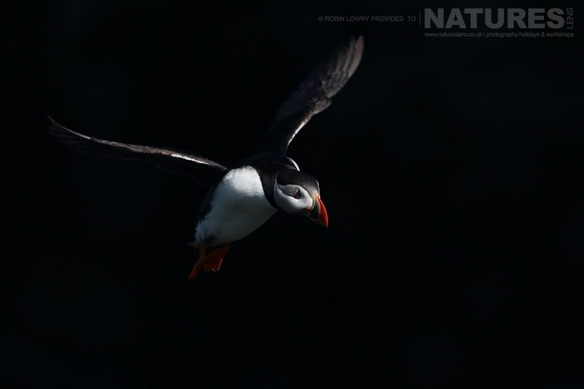 One Of The Puffins Making A Landing   Photographed During The NaturesLens Shetland's Puffins Of Fair Isle Photography Holiday