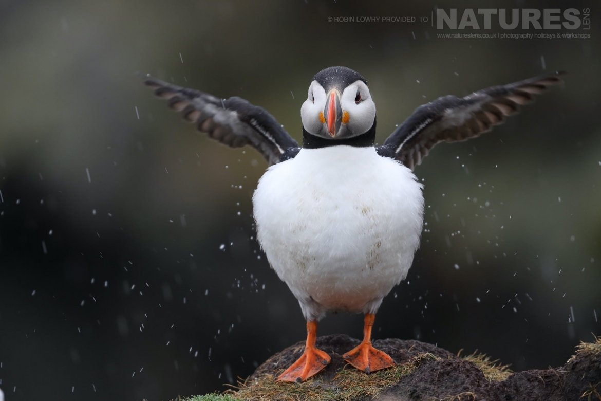 One Of The Puffins Shaking Off The Rain   Photographed During The NaturesLens Shetland's Puffins Of Fair Isle Photography Holiday