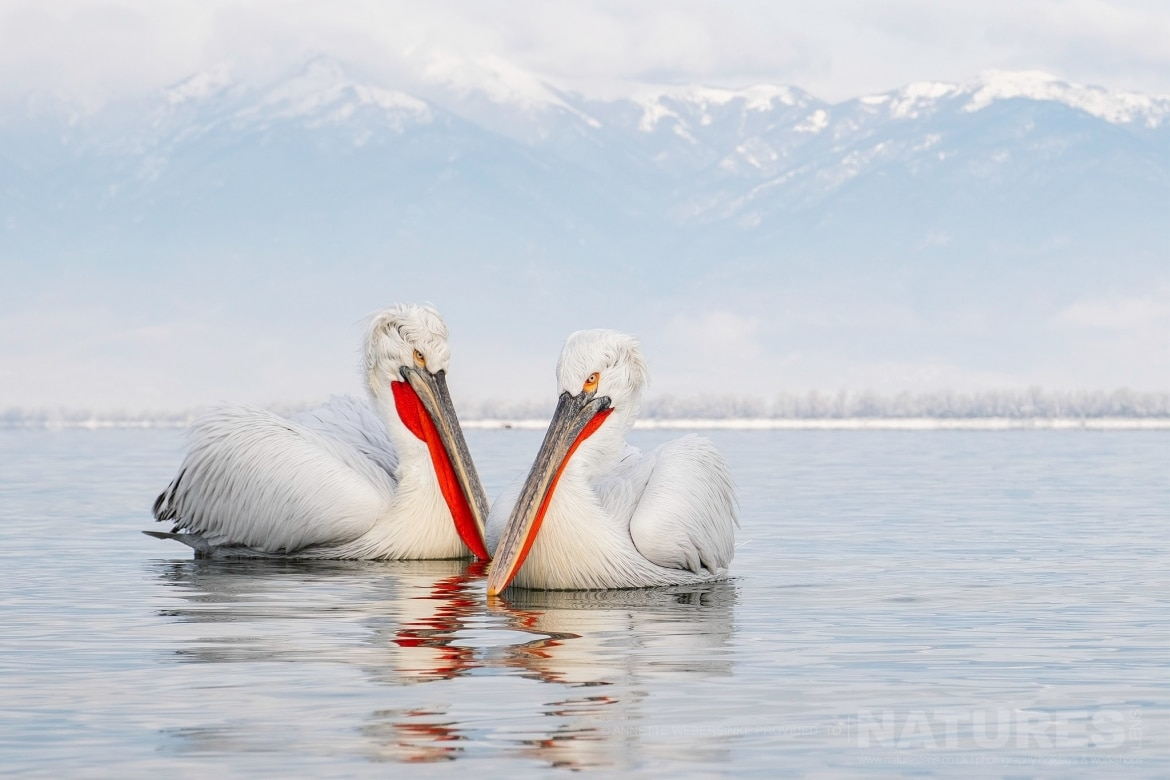 A beautiful pair of Dalmatian Pelicans photographed during one of the NaturesLens Dalmatian Pelican Photography Tours