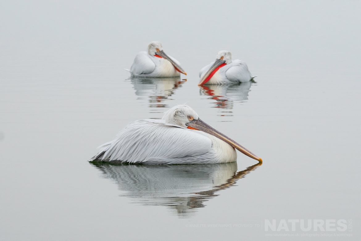 A beautiful trio of Dalmatian Pelicans photographed during one of the NaturesLens Dalmatian Pelican Photography Tours