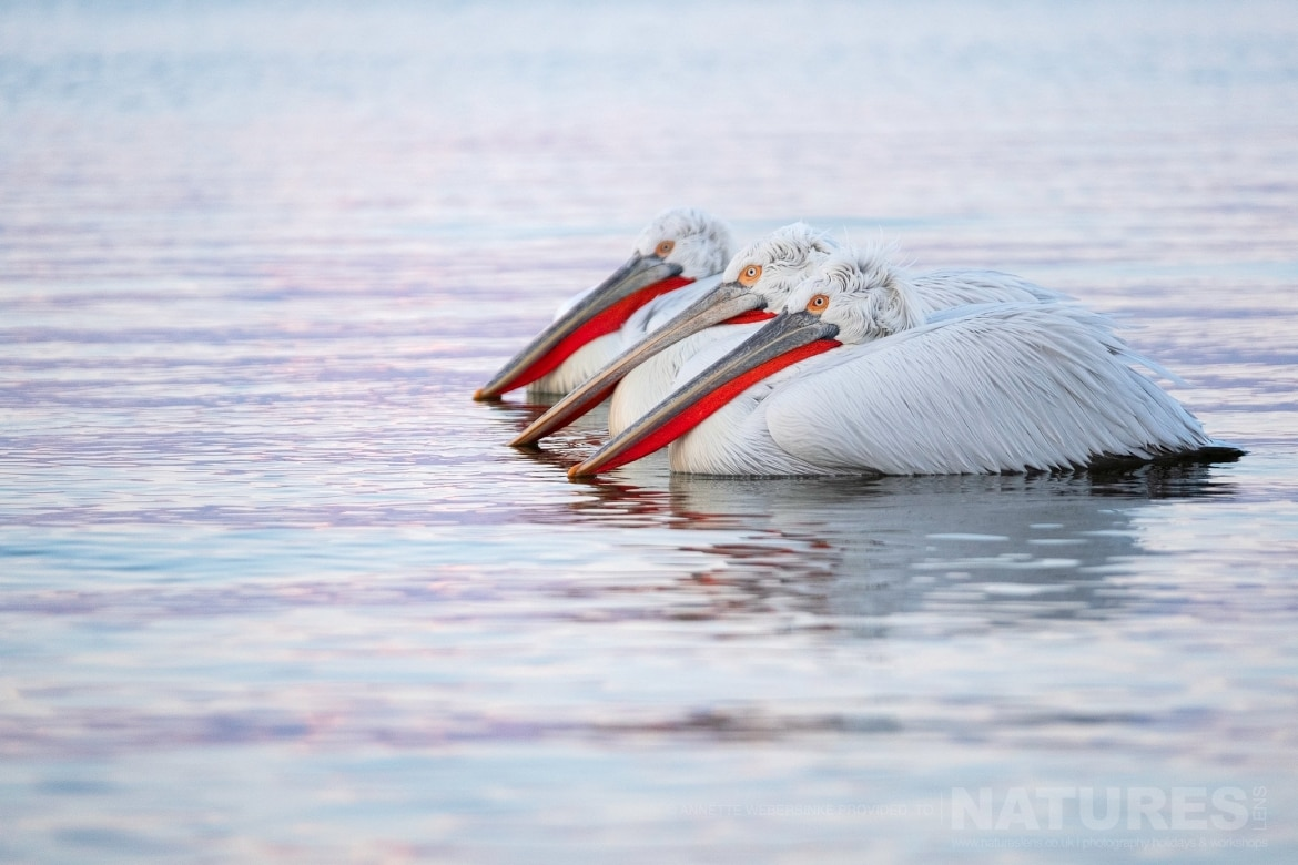 A lined up trio of Dalmatian Pelicans photographed during one of the NaturesLens Dalmatian Pelican Photography Tours