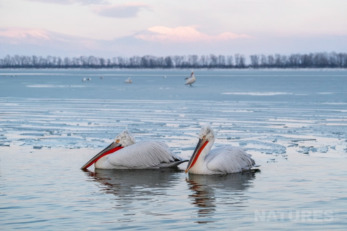 A pair of Dalmatian Pelicans drift amongst the ice of a frozen Lake Kerkini photographed during one of the NaturesLens Dalmatian Pelican Photography Tours