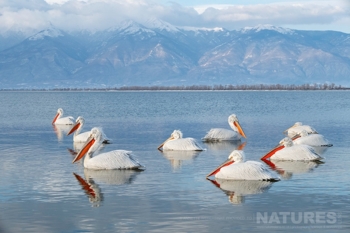 A squadron of Dalmatian Pelicans photographed during one of the NaturesLens Dalmatian Pelican Photography Tours