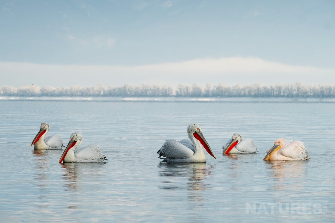 A squadron of the beautiful Dalmatian Pelicans on Lake Kerkini photographed during one of the NaturesLens Dalmatian Pelican Photography Tours