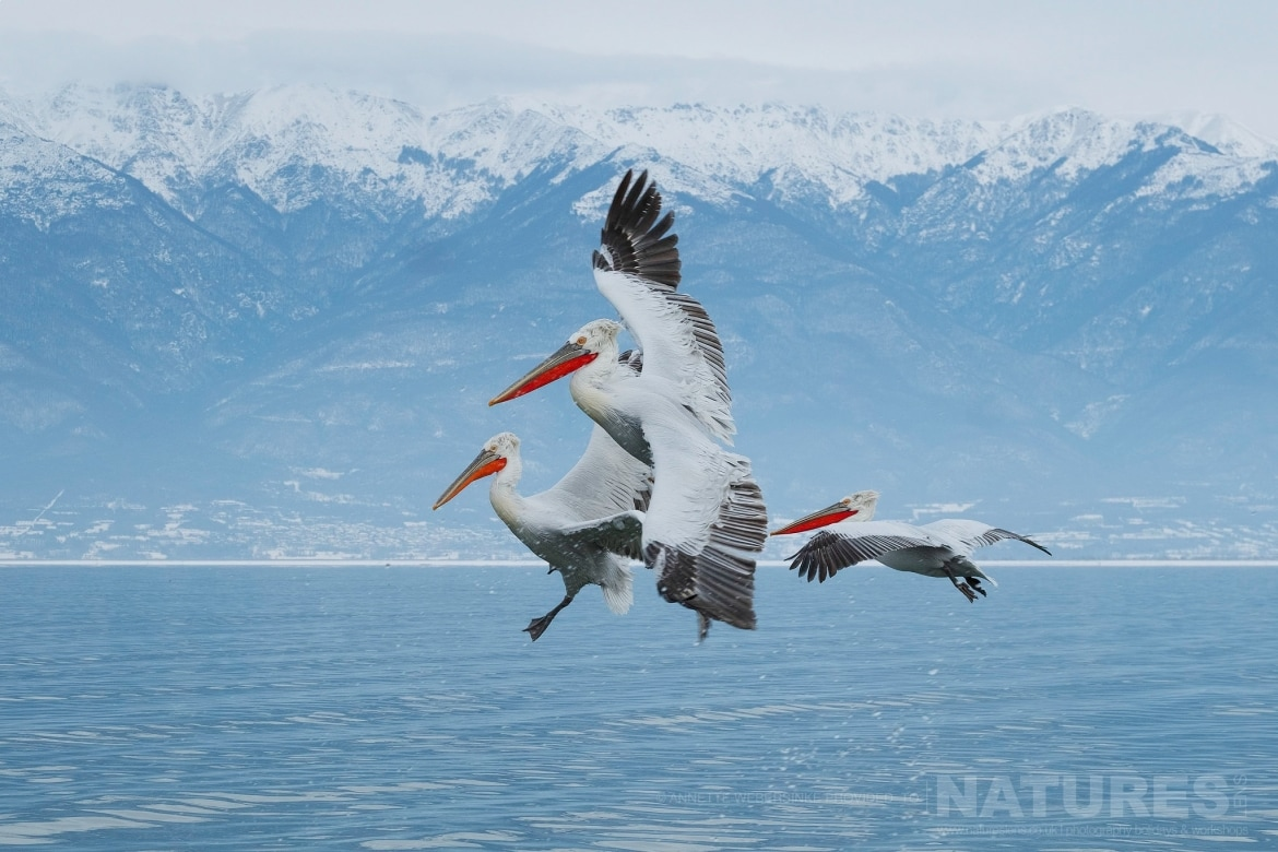 A trio of Dalmatian Pelicans come into land on Lake Kerkini photographed during one of the NaturesLens Dalmatian Pelican Photography Tours