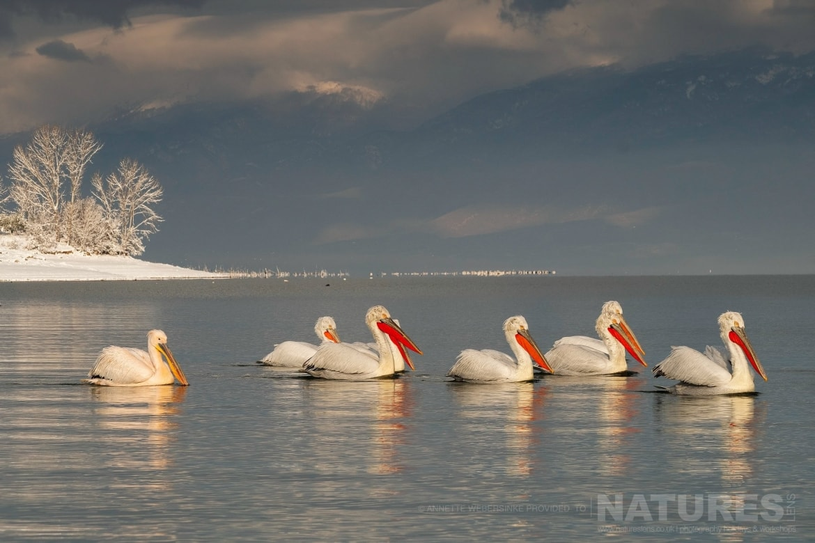 Against the wintery backdrop of a snowy Lake Kerkini the Dalmatian Pelicans drift by photographed during one of the NaturesLens Dalmatian Pelican Photography Tours