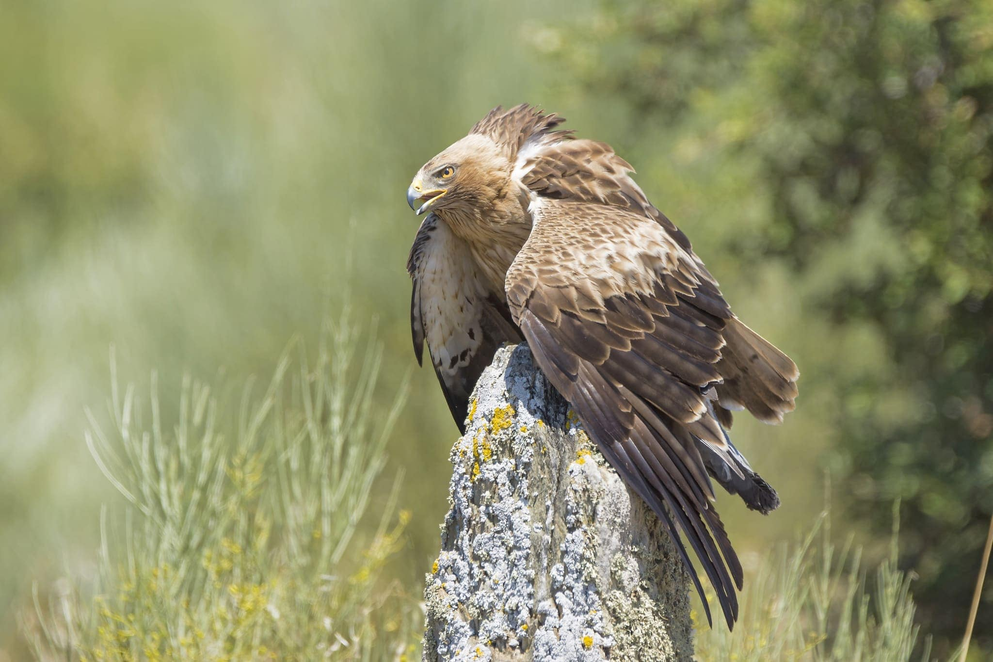 One Of The Magnificent Booted Eagles   Photographed At The Location Used For The NaturesLens Bonellis, Golden & Imperial Eagles Of Spain Photography Holiday