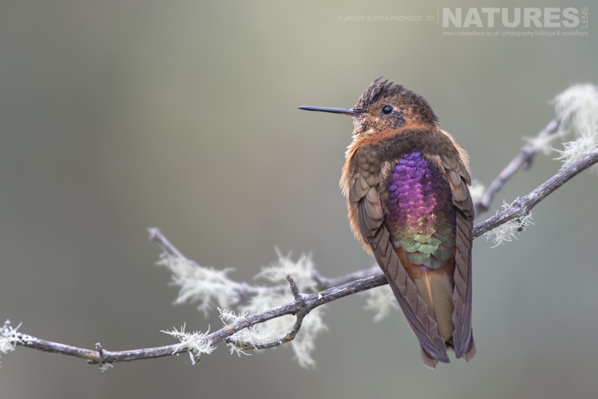 Colourful Hummingbirds will be a major feature of the NaturesLens Hummingbirds More of Ecuador Photography Holiday