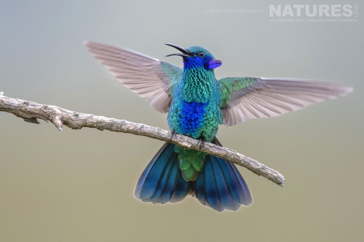 Hummingbirds will be a major feature of the NaturesLens Hummingbirds More of Ecuador Photography Holiday