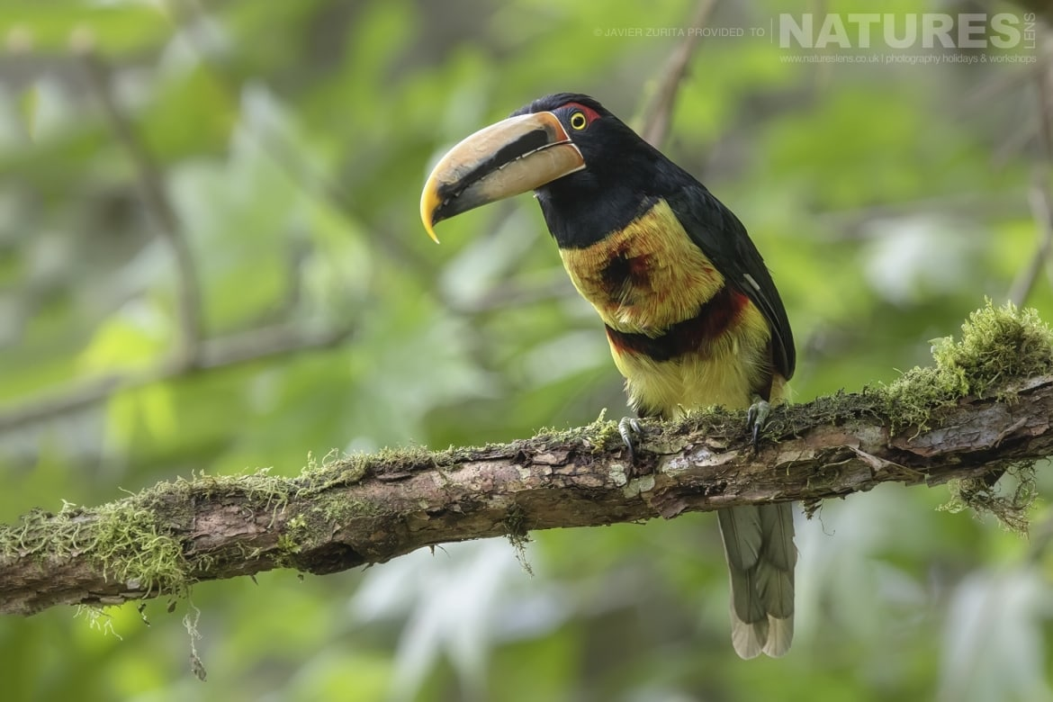 Images of Aracari should be achievable during the NaturesLens Hummingbirds More of Ecuador Photography Holiday
