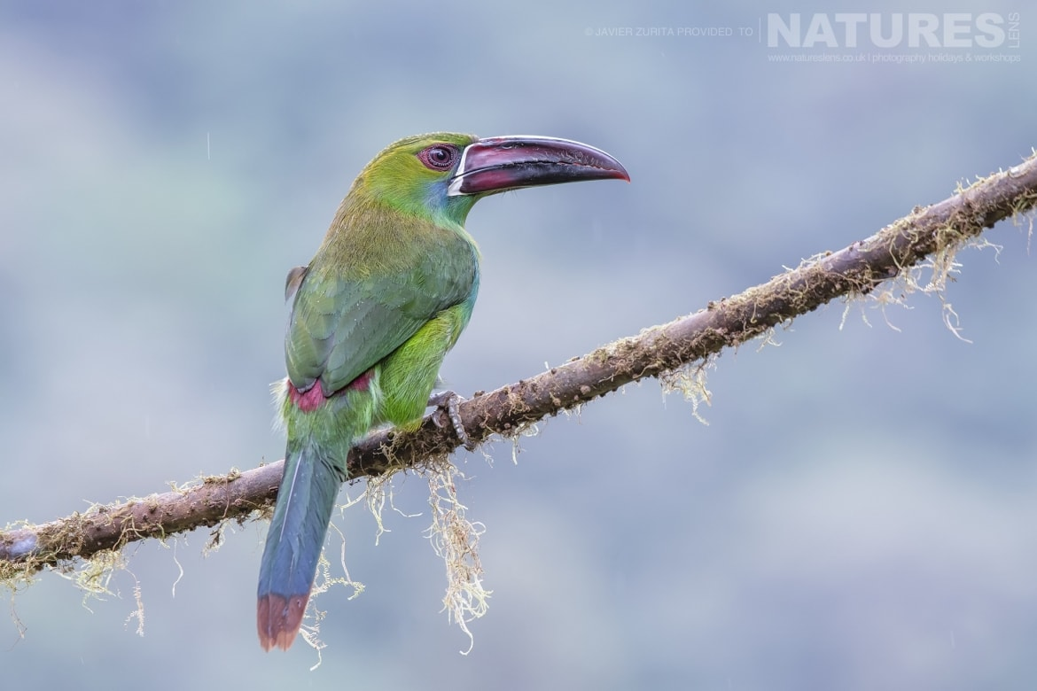 Images of Toucanets should be achievable during the NaturesLens Hummingbirds More of Ecuador Photography Holiday