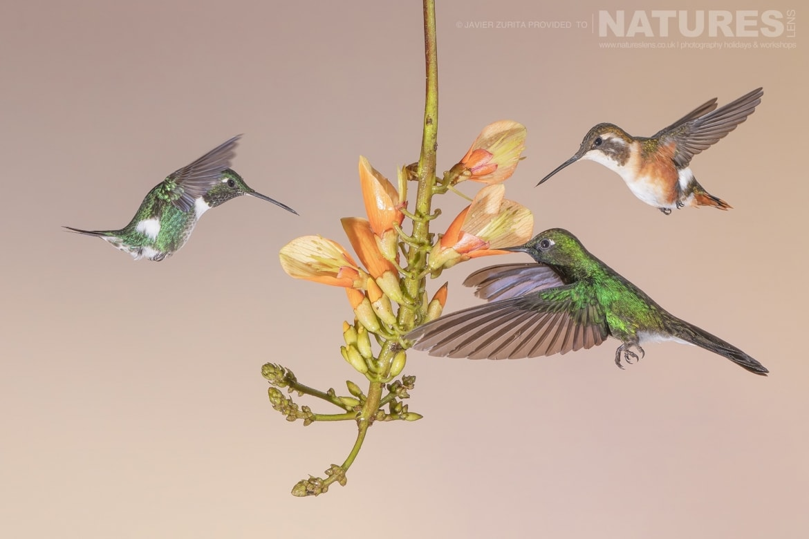 Images of multiple Hummingbirds should be achievable during the NaturesLens Hummingbirds More of Ecuador Photography Holiday