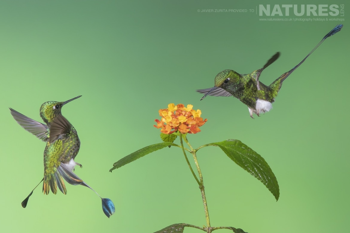 Images of multiple Hummingbirds with clean backgrounds should be achievable during the NaturesLens Hummingbirds More of Ecuador Photography Holiday