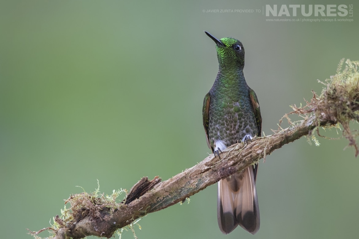 Images of perched Hummingbirds should be achievable during the NaturesLens Hummingbirds More of Ecuador Photography Holiday
