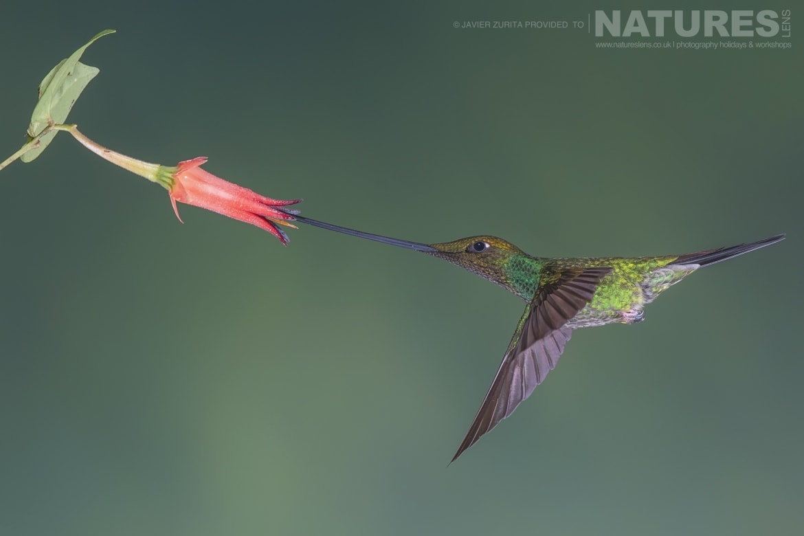 Images of the Sword billed Hummingbird in action should be achievable during the NaturesLens Hummingbirds More of Ecuador Photography Holiday