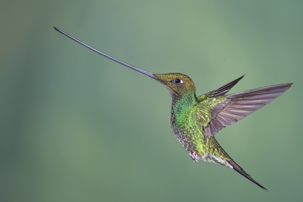 Images of the Sword billed Hummingbird should be achievable during the NaturesLens Hummingbirds More of Ecuador Photography Holiday
