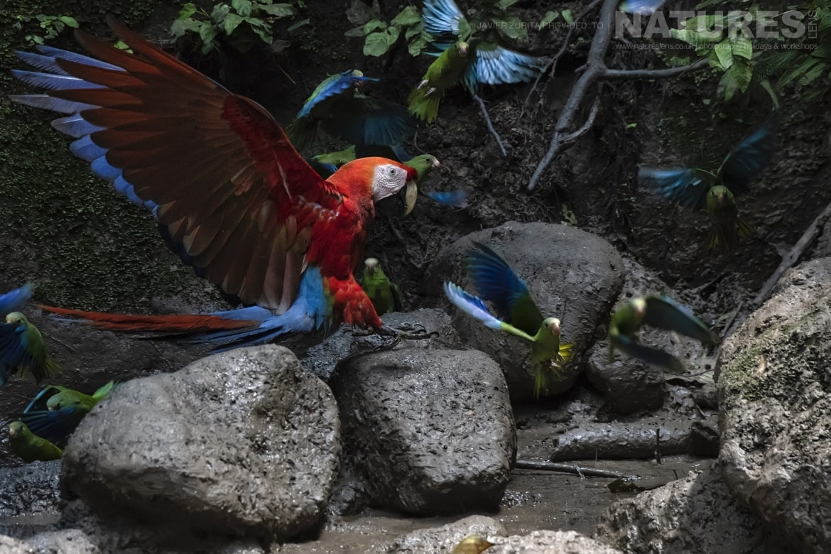 Images of various types of Macaw parrot should be achievable during the NaturesLens Hummingbirds More of Ecuador Photography Holiday