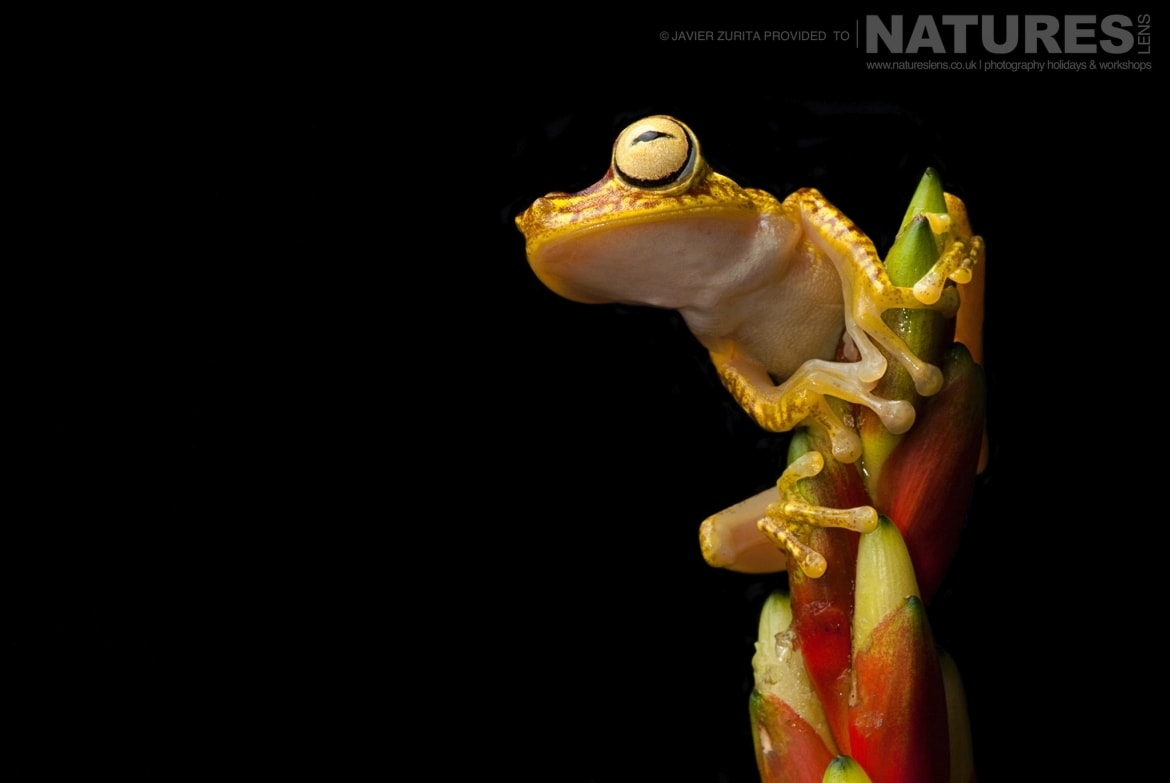 Images of various types of frog should be achievable during the NaturesLens Hummingbirds More of Ecuador Photography Holiday