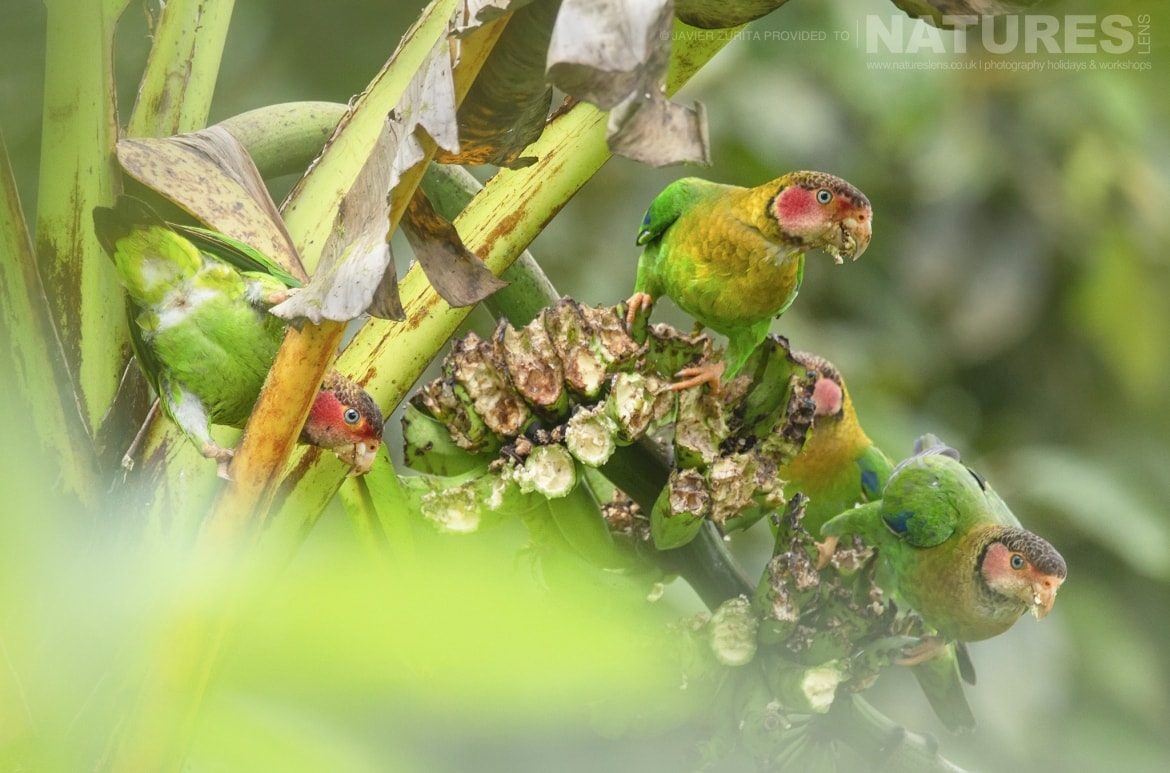 Images of varying types of parrot should be achievable during the NaturesLens Hummingbirds More of Ecuador Photography Holiday