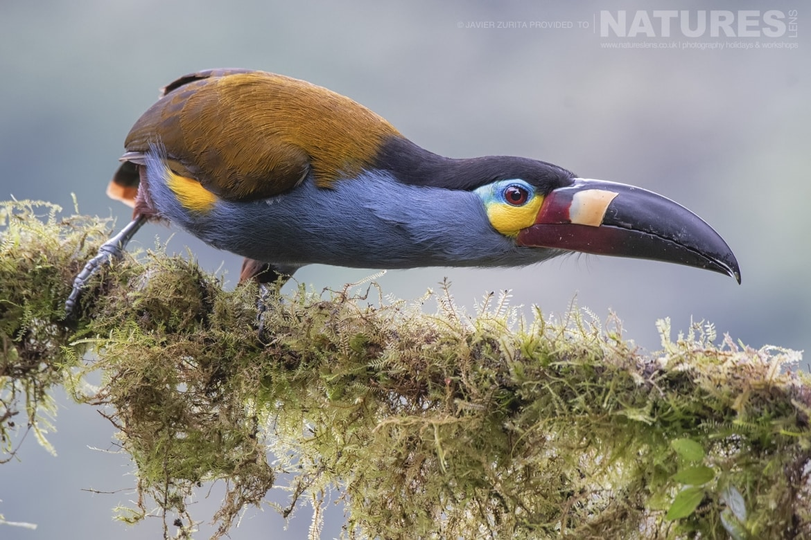 Images of varying types of toucanet should be achievable during the NaturesLens Hummingbirds More of Ecuador Photography Holiday