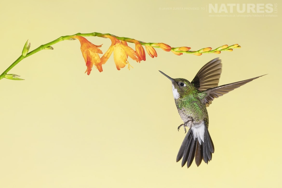 The beautiful Hummingbirds will be a major feature of the NaturesLens Hummingbirds More of Ecuador Photography Holiday