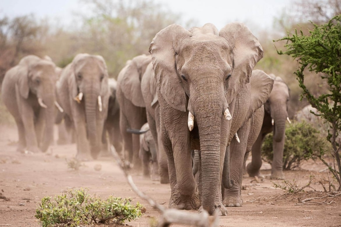 A group of elephants on the move - photographed at the locations used for the NaturesLens Mashatu, Land of the Giants Photography Holiday