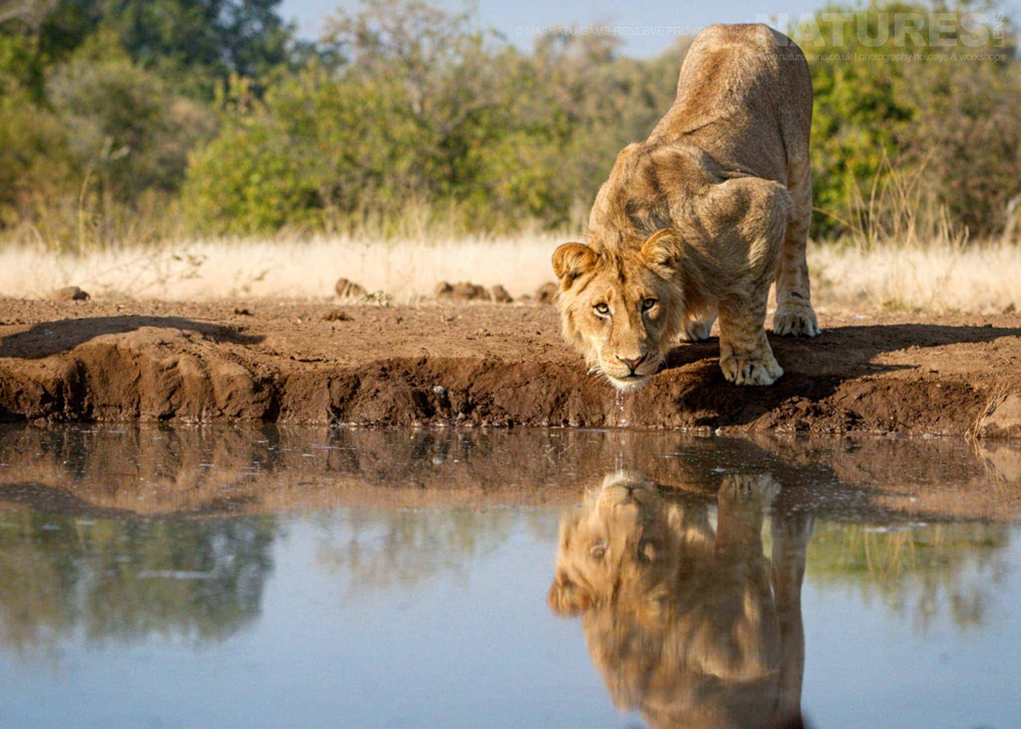 A lion drinks from one of the water holes - photographed at the locations used for the NaturesLens Mashatu, Land of the Giants Photography Holiday